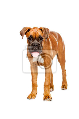 boxer allemand