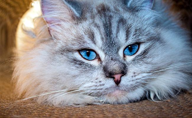 chat sibérien