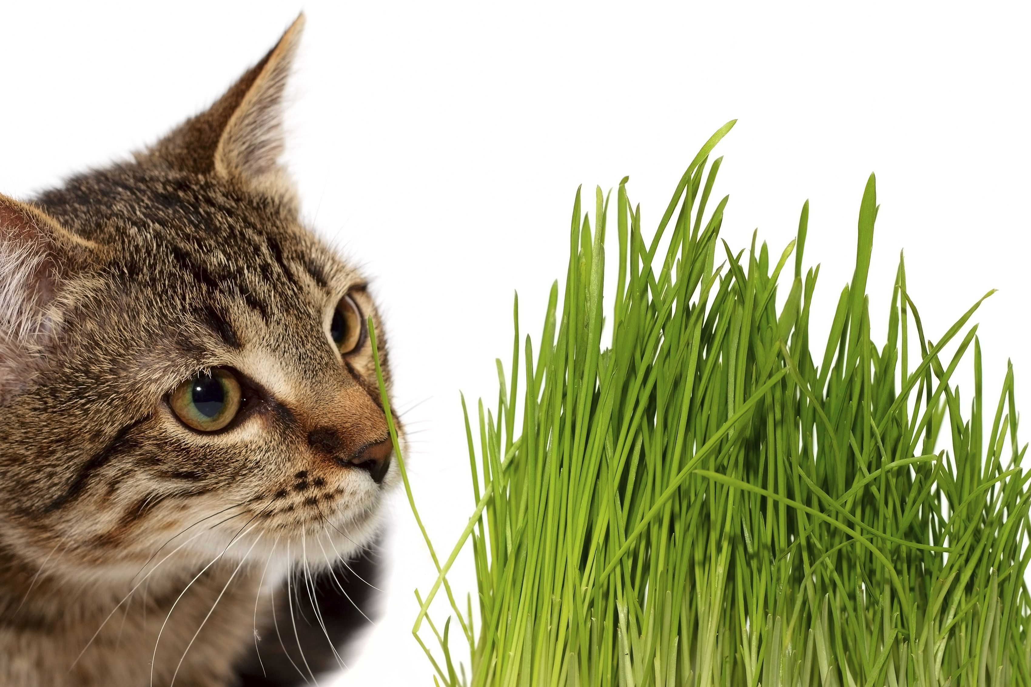 herbe chat