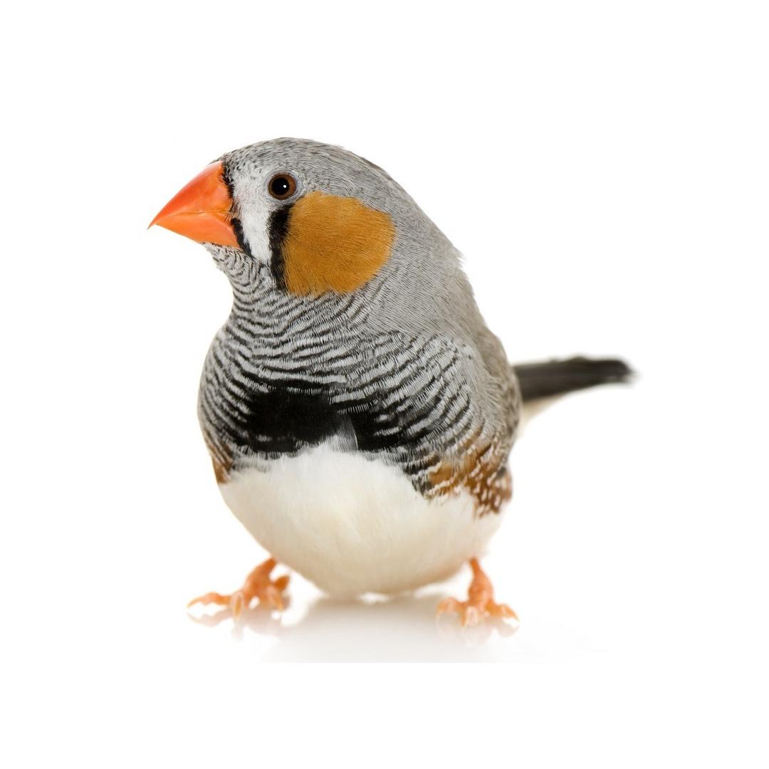 mandarin oiseau