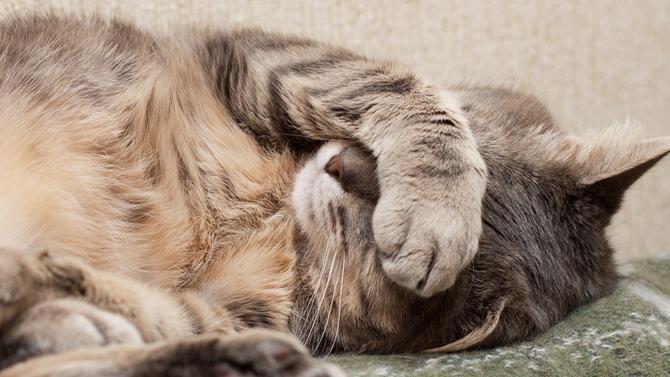rhume du chat